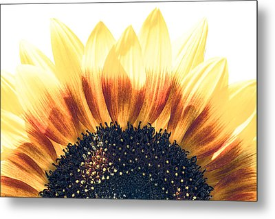Sunflower Rising Metal Print by Wade Brooks