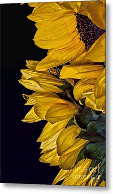 Metal Print featuring the photograph Sunflower by Shirley Mangini