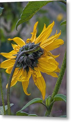 Sunflower Metal Print by Sharon Beth