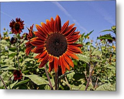 Sunflower Sky Metal Print by Kerri Mortenson
