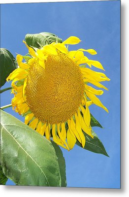 Sunflower Sky Metal Print by Noreen HaCohen