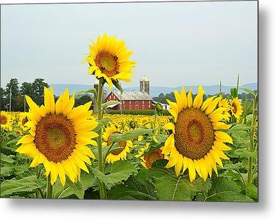 Sunflower Splendor #1 - Mifflinburg Pa Metal Print