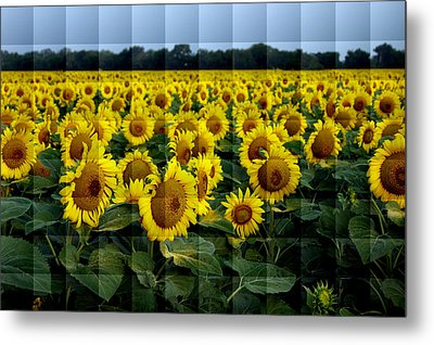 Sunflower Squared Metal Print