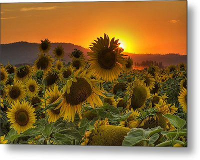 Sunflower Sun Rays Metal Print by Mark Kiver