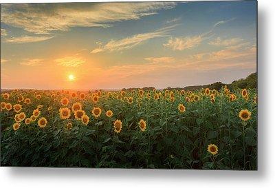 Sunflower Sundown Metal Print by Bill Wakeley