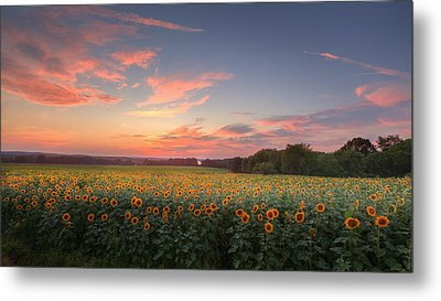 Sunflower Sunset Metal Print by Bill Wakeley