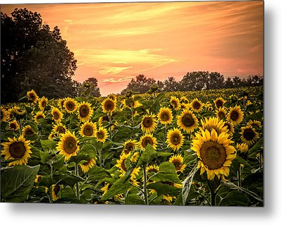 Metal Print featuring the photograph Sunflower Sunset by Steven Bateson