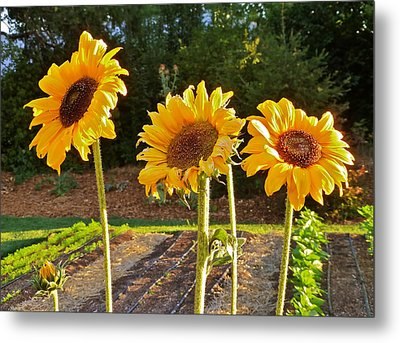 Sunflower Trio Metal Print by K L Kingston