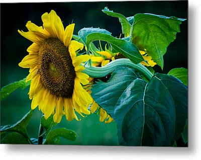 Metal Print featuring the photograph Sunflower by Wayne Meyer