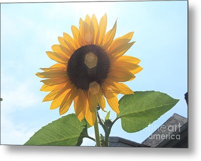 Sunflower With Flare 1 Metal Print