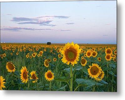 Sunflowers At Sunrise Metal Print by Ronda Kimbrow