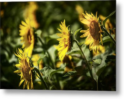 Metal Print featuring the photograph Sunflowers In The Wind by Steven Sparks