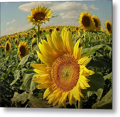 Kansas Sunflowers Metal Print by Chris Berry