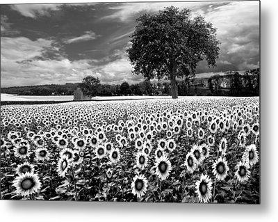 Sunflowers In Black And White Metal Print by Debra and Dave Vanderlaan
