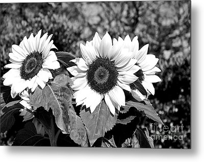 Sunflowers In Black And White Metal Print by Kaye Menner