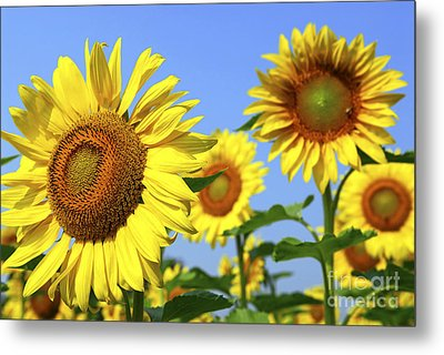 Sunflowers In Field Metal Print by Elena Elisseeva