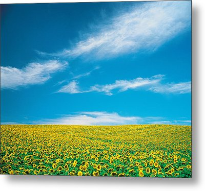 Sunflowers In Field Metal Print by Panoramic Images
