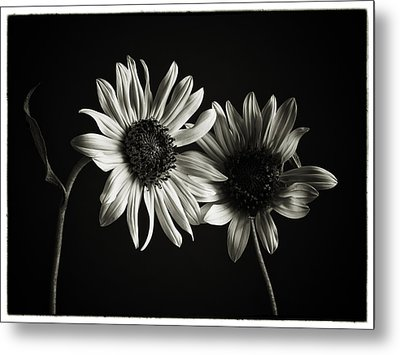 Sunflowers In Soft Light Metal Print by Jesse Castellano
