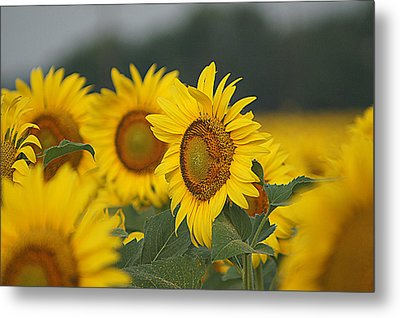 Metal Print featuring the photograph Sunflowers by Kathy Churchman