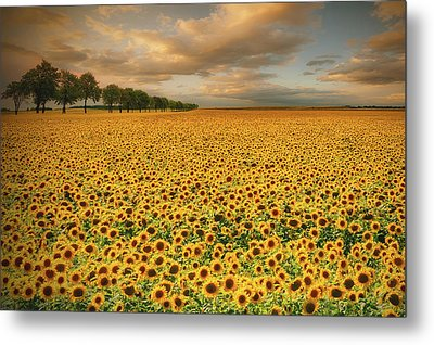 Sunflowers Metal Print by Piotr Krol (bax)