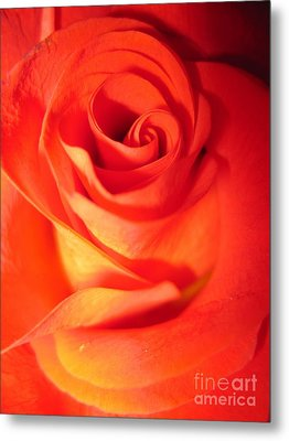 Sunkissed Orange Rose 10 Metal Print