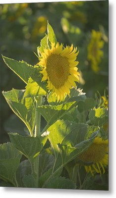 Sunlight And Sunflower 3 Metal Print