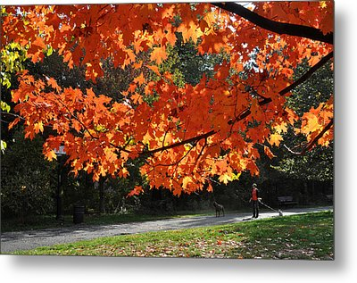 Sunlight On Red Maple Leaves Metal Print by Diane Lent