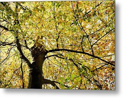 Sunlit Autumn Tree Metal Print by Natalie Kinnear