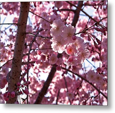 Sunlit Cherry Blossoms Metal Print by Rona Black