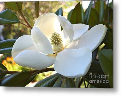 Sunlit Southern Magnolia Metal Print