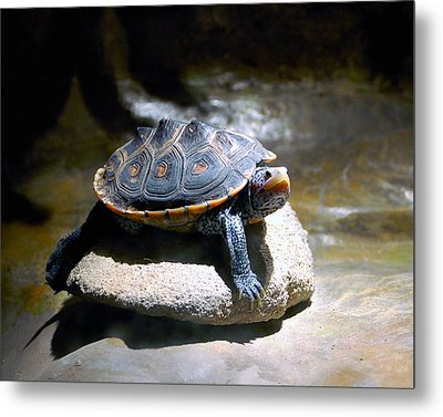 Sunning Terrapin Metal Print by Donna Proctor