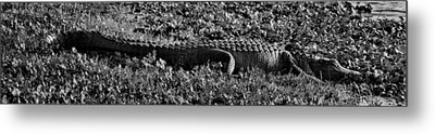 Sunny Alligator Black And White Metal Print by Joshua House