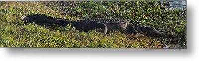 Sunny Alligator Metal Print by Joshua House