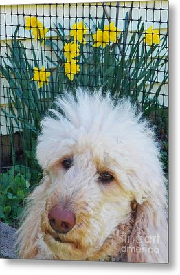 Sunny And The Daffodils Metal Print by Judy Via-Wolff