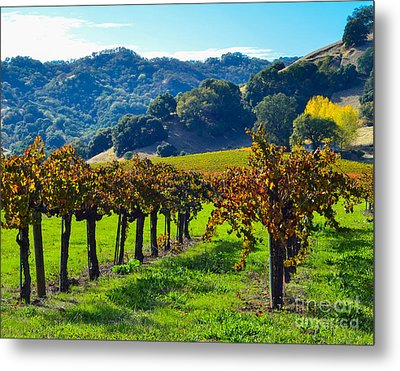 Sunny Autumn Vineyards Metal Print by CML Brown
