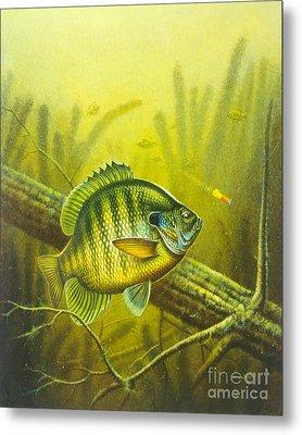 Sunny Day Panfish Metal Print by Jon Q Wright