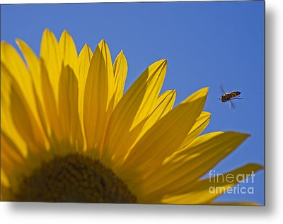 Sunny Fly By Metal Print by Nick  Boren