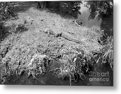 Metal Print featuring the photograph Sunny Gator Black And White by Joseph Baril