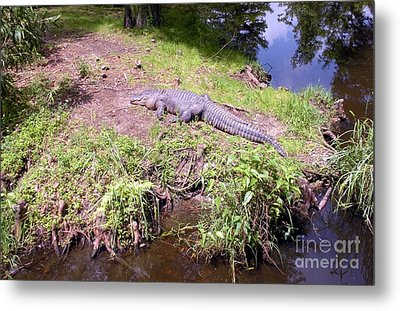 Sunny Gator  Metal Print by Joseph Baril