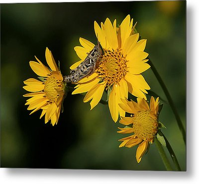 Sunny Hopper Metal Print by Ernie Echols