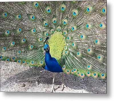 Metal Print featuring the photograph Sunny Peancock by Caryl J Bohn