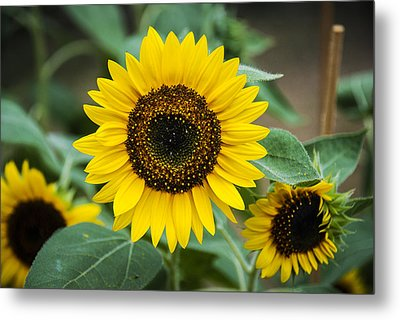 Metal Print featuring the photograph Sunny Smile Sunflower by Phil Abrams
