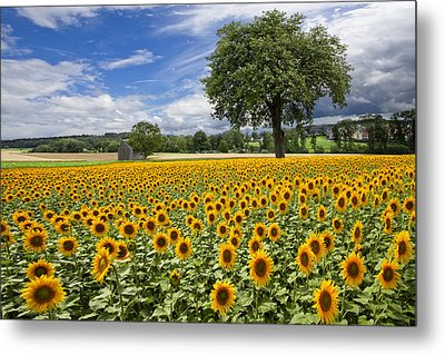 Sunny Sunflowers Metal Print by Debra and Dave Vanderlaan