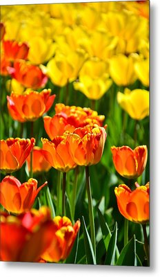 Sunny Tulips Metal Print by Gynt