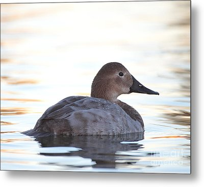 Sunrise Canvasback Metal Print by Ruth Jolly