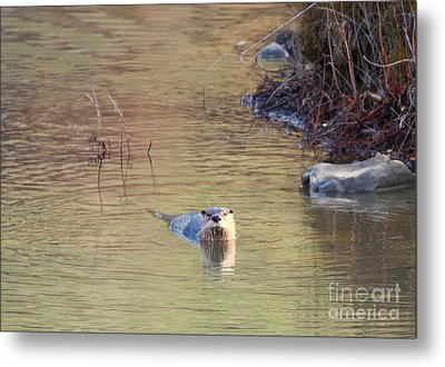 Sunrise Otter Metal Print
