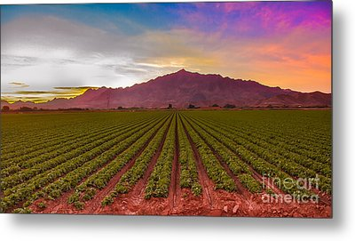 Sunrise Over Lettuce Field Metal Print by Robert Bales