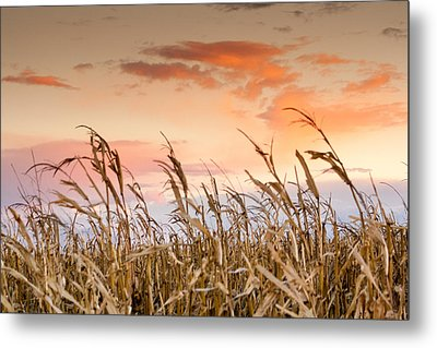 Sunset Against The Cornstalks Metal Print