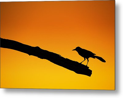Sunset Grackle Silhouette Metal Print by Andres Leon