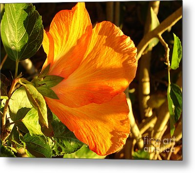 Sunset Hibiscus Metal Print by Lew Davis